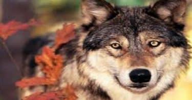 قصة الرجل الذي يتحول إلى الذئب رائعة