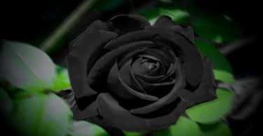 قصة الوردة السوداء والمرأة الجميلة