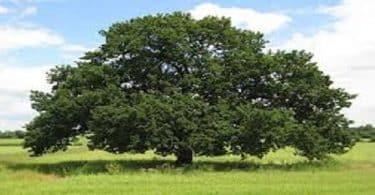قصة شجرة البلوط في القرآن