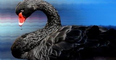 قصة بحيرة البجع السوداء طويلة وجميلة